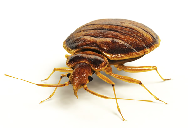 A bed bug on a person skin facing the camera