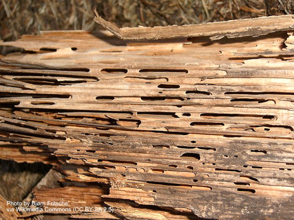 Wood damaged by carpenter ants