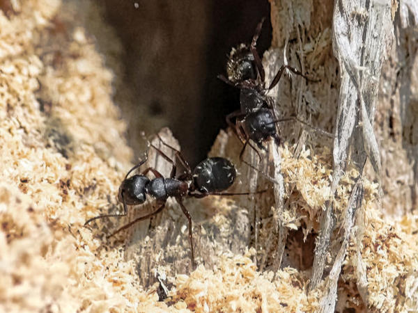 Carpenter ants building a nest in a tree with sawdust falling out of the tree