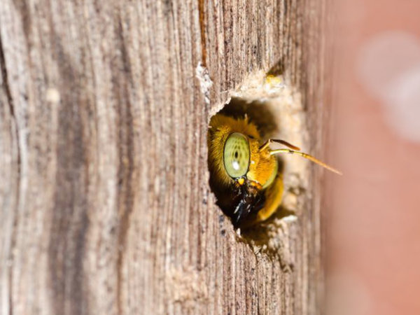 Close up of a carpenter bee sticking its head out of a hole that she is drilling