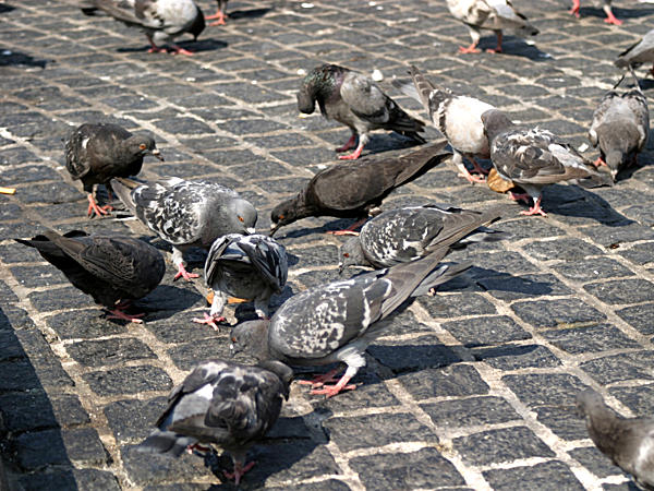 Flock of pigeons feeding on seeds on the pavement