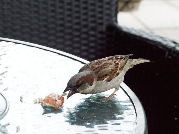 Sparrow on a glass outdoor table eating some food scraps left by humans