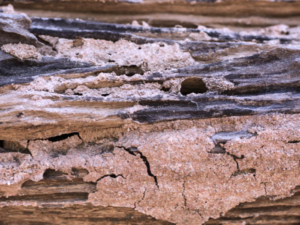 Termite damage to the outside of a house or shed